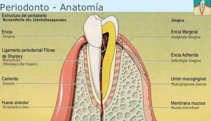 Los microorganismos que habitan en nuestra boca - Dentisalut